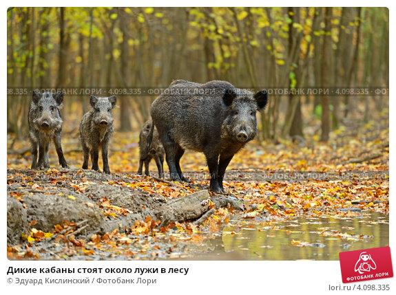 Дикие кабаны стоят около лужи в лесу. Стоковое фото, фотограф Эдуард Кислинский / Фотобанк Лори