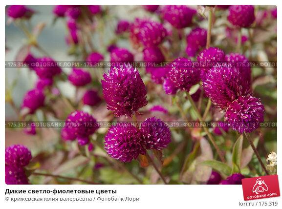 Дикие светло-фиолетовые цветы, фото № 175319, снято 26 декабря 2007 г. (c) крижевская юлия валерьевна / Фотобанк Лори