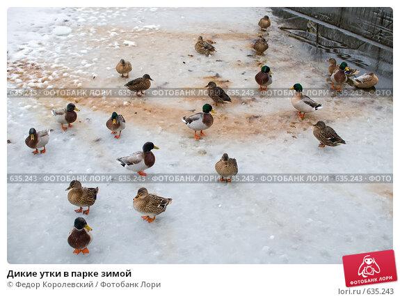 Купить «Дикие утки в парке зимой», фото № 635243, снято 27 декабря 2008 г. (c) Федор Королевский / Фотобанк Лори