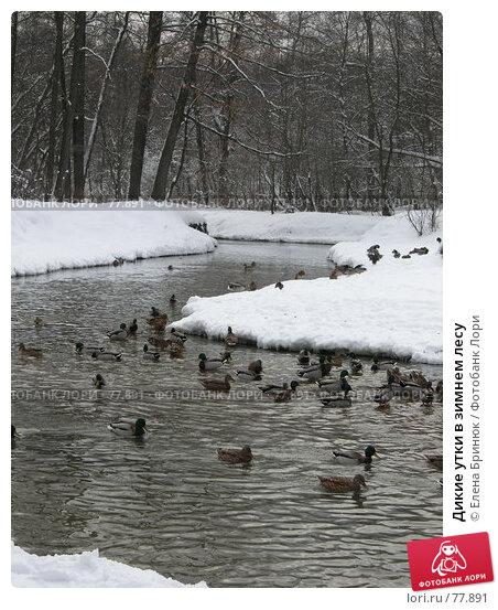 Купить «Дикие утки в зимнем лесу», фото № 77891, снято 17 февраля 2007 г. (c) Елена Бринюк / Фотобанк Лори