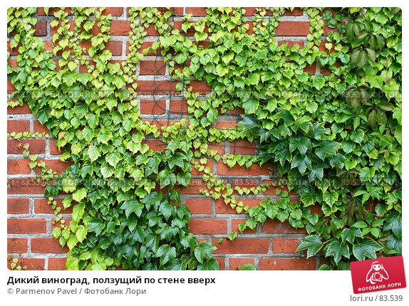 Дикий виноград, ползущий по стене вверх, фото № 83539, снято 3 сентября 2007 г. (c) Parmenov Pavel / Фотобанк Лори