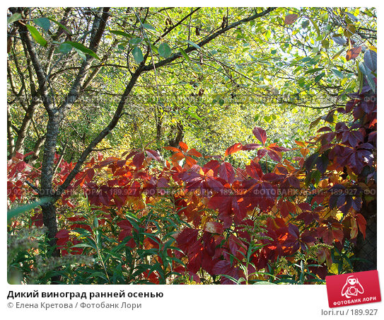 Дикий виноград ранней осенью, фото № 189927, снято 1 апреля 2007 г. (c) Елена Кретова / Фотобанк Лори