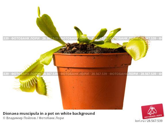 Купить «Dionaea muscipula in a pot on white background», фото № 28567539, снято 16 января 2019 г. (c) Владимир Пойлов / Фотобанк Лори