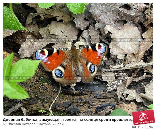 Дневная бабочка, зимующая, греется на солнце среди прошлогодней листвы, фото № 10787, снято 2 мая 2004 г. (c) Вячеслав Потапов / Фотобанк Лори