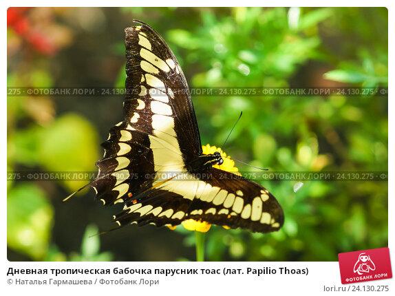 Купить «Дневная тропическая бабочка парусник тоас (лат. Papilio Thoas)», фото № 24130275, снято 18 сентября 2012 г. (c) Наталья Гармашева / Фотобанк Лори