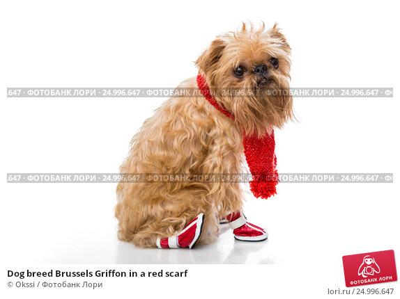 Купить «Dog breed Brussels Griffon in a red scarf», фото № 24996647, снято 14 января 2017 г. (c) Okssi / Фотобанк Лори