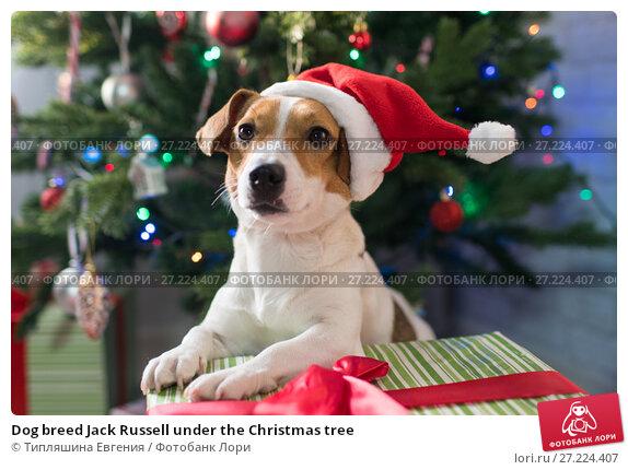 Купить «Dog breed Jack Russell under the Christmas tree», фото № 27224407, снято 18 ноября 2017 г. (c) Типляшина Евгения / Фотобанк Лори