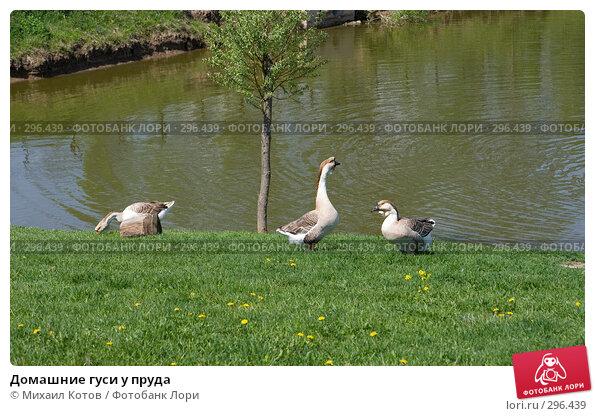 Домашние гуси у пруда, фото № 296439, снято 13 мая 2008 г. (c) Михаил Котов / Фотобанк Лори
