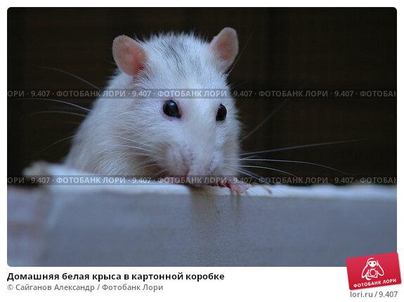 Домашняя белая крыса в картонной коробке, фото № 9407, снято 14 января 2005 г. (c) Сайганов Александр / Фотобанк Лори