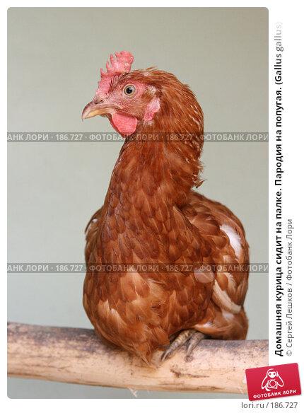 Домашняя курица сидит на палке. Пародия на попугая. (Gallus gallus), фото № 186727, снято 22 июля 2007 г. (c) Сергей Лешков / Фотобанк Лори
