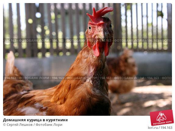 Домашняя курица в курятнике, фото № 194163, снято 22 июля 2007 г. (c) Сергей Лешков / Фотобанк Лори