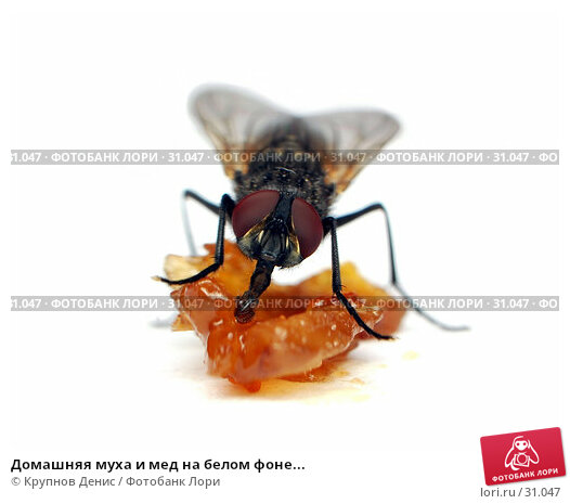 Домашняя муха и мед на белом фоне..., фото № 31047, снято 20 декабря 2007 г. (c) Крупнов Денис / Фотобанк Лори