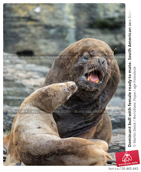 Dominant bull with female ready to mate. South American sea lion (Otaria flavescens, formerly Otaria byronia), also called the Southern Sea Lion or Patagonian... Стоковое фото, фотограф Martin Zwick / age Fotostock / Фотобанк Лори