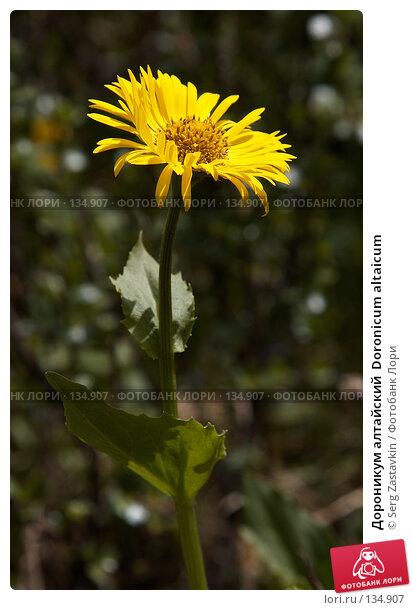 Дороникум алтайский  Doronicum altaicum, фото № 134907, снято 30 июня 2006 г. (c) Serg Zastavkin / Фотобанк Лори