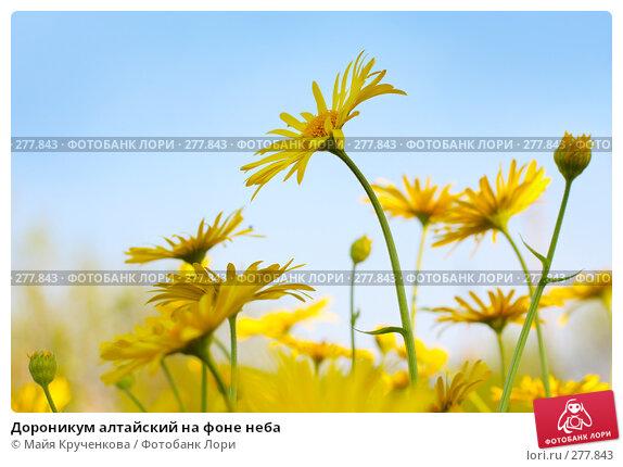 Купить «Дороникум алтайский на фоне неба», фото № 277843, снято 5 мая 2008 г. (c) Майя Крученкова / Фотобанк Лори