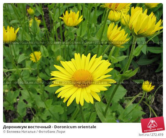 Дороникум восточный - Doronicum orientale, фото № 272419, снято 10 июня 2007 г. (c) Беляева Наталья / Фотобанк Лори