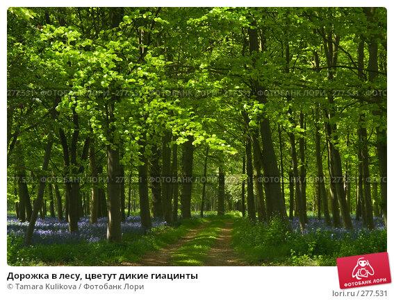 Дорожка в лесу, цветут дикие гиацинты, фото № 277531, снято 8 мая 2008 г. (c) Tamara Kulikova / Фотобанк Лори