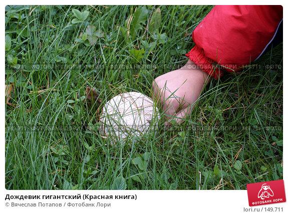 Дождевик гигантский (Красная книга), фото № 149711, снято 10 сентября 2006 г. (c) Вячеслав Потапов / Фотобанк Лори