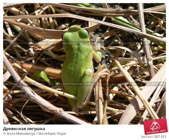 Древесная лягушка, фото № 307311, снято 14 мая 2008 г. (c) Алла Максимчук / Фотобанк Лори