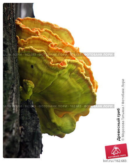 Древесный гриб, фото № 162683, снято 24 мая 2007 г. (c) Морозова Татьяна / Фотобанк Лори