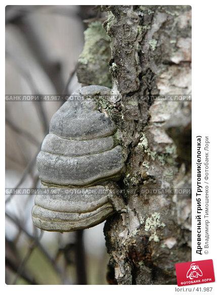 Древесный гриб Трутовик(елочка), фото № 41987, снято 9 мая 2007 г. (c) Владимир Тимошенко / Фотобанк Лори