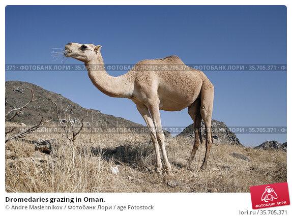 Dromedaries grazing in Oman. Стоковое фото, фотограф Andre Maslennikov / age Fotostock / Фотобанк Лори