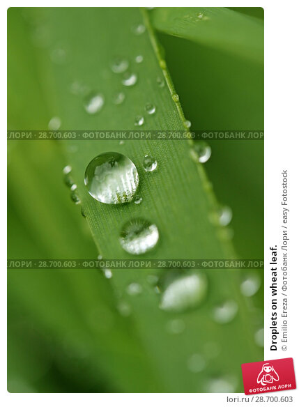 Купить «Droplets on wheat leaf.», фото № 28700603, снято 8 мая 2018 г. (c) easy Fotostock / Фотобанк Лори