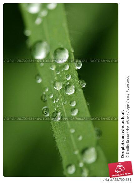 Купить «Droplets on wheat leaf.», фото № 28700631, снято 8 мая 2018 г. (c) easy Fotostock / Фотобанк Лори