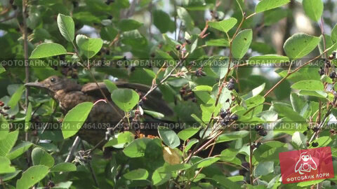 Купить «Дрозд на дереве», видеоролик № 6464039, снято 22 августа 2014 г. (c) Звездочка ясная / Фотобанк Лори