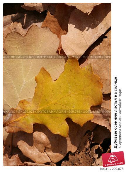 Купить «Дубовые осенние листья на солнце», фото № 209075, снято 7 октября 2007 г. (c) Архипова Мария / Фотобанк Лори