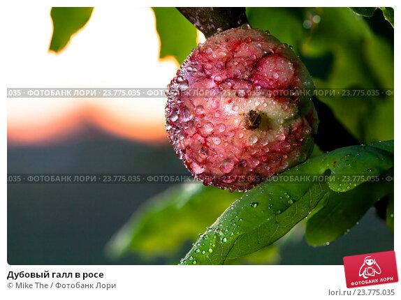 Купить «Дубовый галл в росе», фото № 23775035, снято 4 июля 2020 г. (c) Mike The / Фотобанк Лори