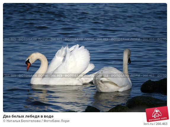 Два белых лебедя в воде, фото № 266463, снято 29 марта 2008 г. (c) Наталья Белотелова / Фотобанк Лори