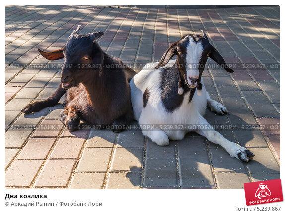 Купить «Два козлика», фото № 5239867, снято 8 августа 2013 г. (c) Аркадий Рыпин / Фотобанк Лори