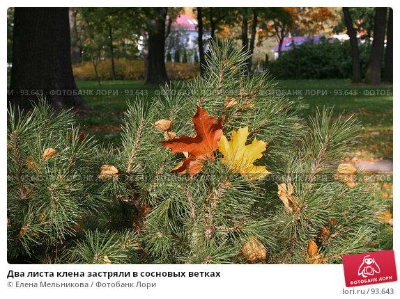 Два листа клена застряли в сосновых ветках, фото № 93643, снято 23 сентября 2007 г. (c) Елена Мельникова / Фотобанк Лори