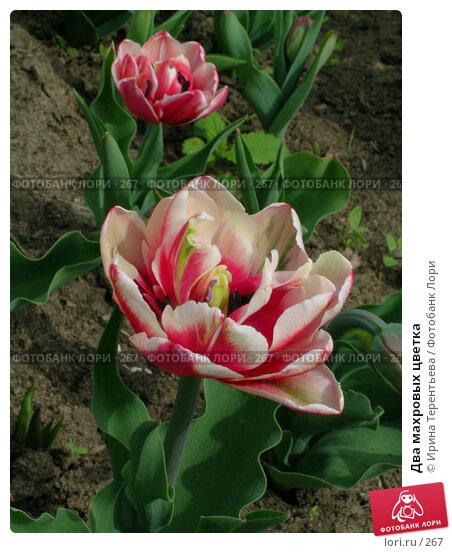 Два махровых цветка, эксклюзивное фото № 267, снято 11 мая 2004 г. (c) Ирина Терентьева / Фотобанк Лори