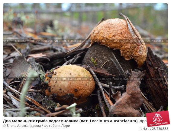 Купить «Два маленьких гриба подосиновика (лат. Leccinum aurantiacum), прорастающих через почву, покрытую сосновыми иглами и прошлогодней листвой, в северном осеннем лесу. Крупный план», фото № 28730583, снято 26 августа 2017 г. (c) Елена Александрова / Фотобанк Лори
