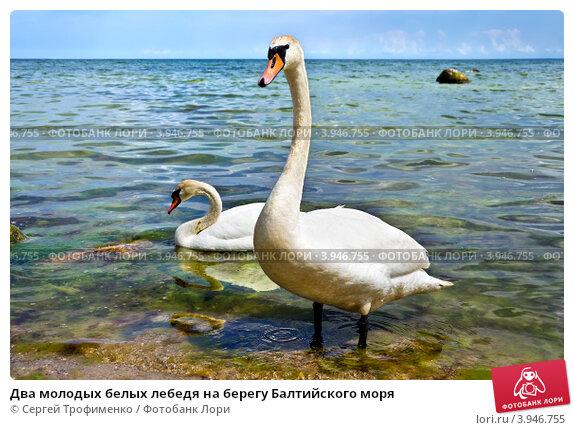 Купить «Два молодых белых лебедя на берегу Балтийского моря», фото № 3946755, снято 10 июня 2012 г. (c) Сергей Трофименко / Фотобанк Лори