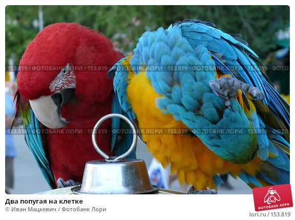 Два попугая на клетке, фото № 153819, снято 9 сентября 2007 г. (c) Иван Мацкевич / Фотобанк Лори