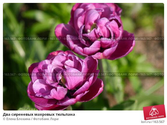 Купить «Два сиреневых махровых тюльпана», фото № 163567, снято 16 мая 2007 г. (c) Елена Блохина / Фотобанк Лори