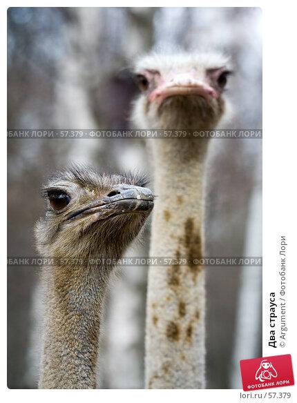 Два страуса, фото № 57379, снято 17 апреля 2007 г. (c) Argument / Фотобанк Лори