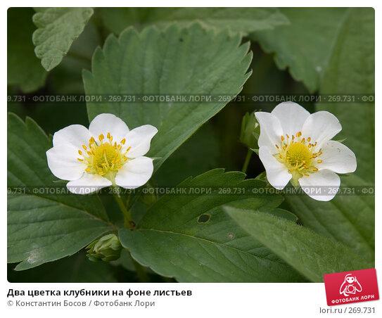 Купить «Два цветка клубники на фоне листьев», фото № 269731, снято 26 апреля 2018 г. (c) Константин Босов / Фотобанк Лори