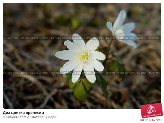 Два цветка пролески, фото № 67999, снято 30 апреля 2007 г. (c) Ильин Сергей / Фотобанк Лори