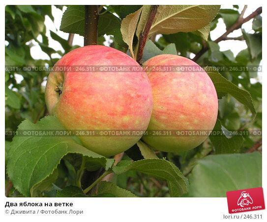 Два яблока на ветке, фото № 246311, снято 21 августа 2004 г. (c) Дживита / Фотобанк Лори