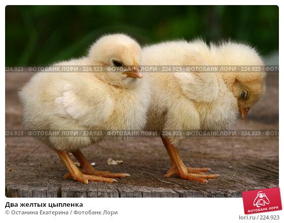 Два желтых цыпленка, фото № 224923, снято 26 мая 2007 г. (c) Останина Екатерина / Фотобанк Лори