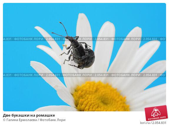 Купить «Две букашки на ромашке», фото № 2054831, снято 27 июня 2010 г. (c) Галина Ермолаева / Фотобанк Лори