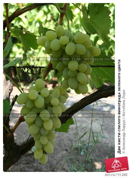 Две кисти спелого винограда зеленого цвета, фото № 11243, снято 27 августа 2006 г. (c) Александр Паррус / Фотобанк Лори