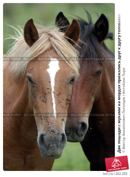 Две лошади с мухами на мордах прижались друг к другу головами, фото № 262255, снято 18 августа 2004 г. (c) Виктор Филиппович Погонцев / Фотобанк Лори