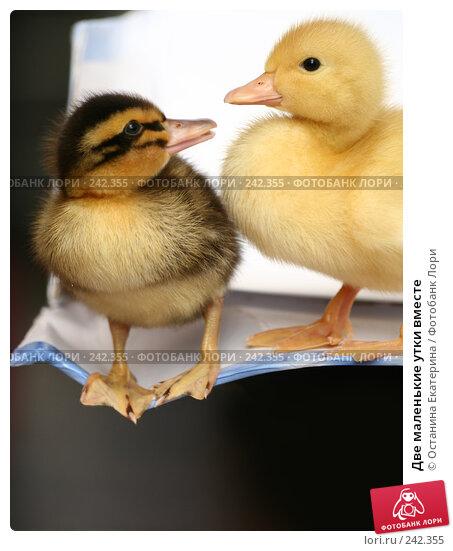 Две маленькие утки вместе, фото № 242355, снято 24 мая 2007 г. (c) Останина Екатерина / Фотобанк Лори