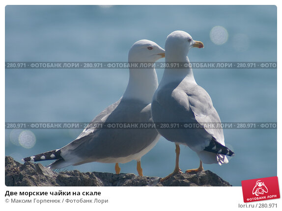 Две морские чайки на скале, фото № 280971, снято 27 апреля 2004 г. (c) Максим Горпенюк / Фотобанк Лори