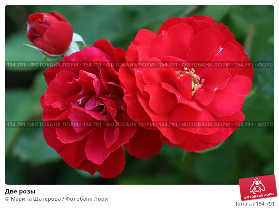 Купить «Две розы», фото № 154791, снято 26 августа 2007 г. (c) Марина Шатерова / Фотобанк Лори